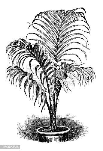 Botany plants antique engraving illustration: Hyophorbe verschaffeltii, palmiste marron, spindle palm