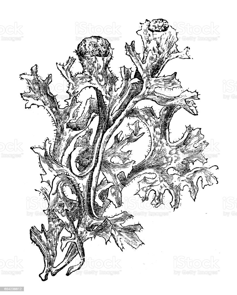 Botany plants antique engraving illustration: Iceland moss (Cetraria islandica) vector art illustration
