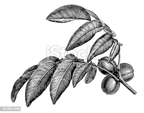 Botany plants antique engraving illustration: Juglans regia, Persian walnut, English walnut