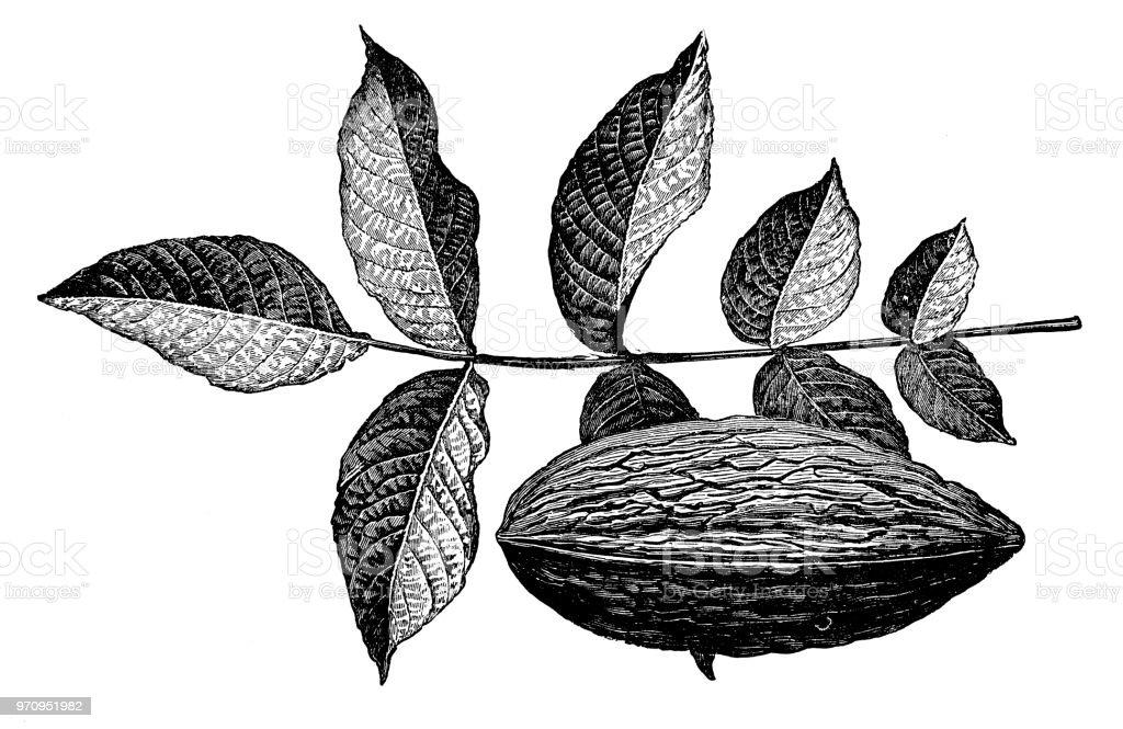 植物植物アンティーク彫刻イラスト カシグルミペルシャのクルミ Elongata