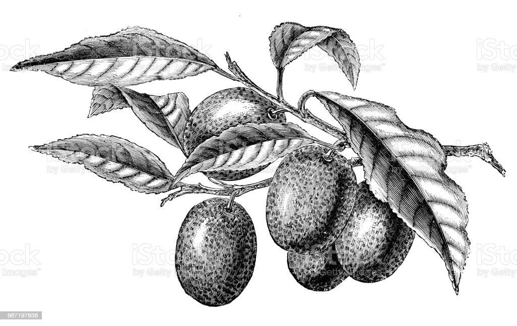 Botany plants antique engraving illustration: Kumquat, Citrus Japonica vector art illustration