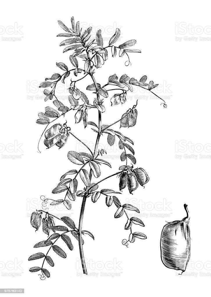 Botanik Pflanzen Antik Gravur Abbildung: Lens Esculenta, Linse, Objektiv Culinaris - Lizenzfrei 19. Jahrhundert Stock-Illustration