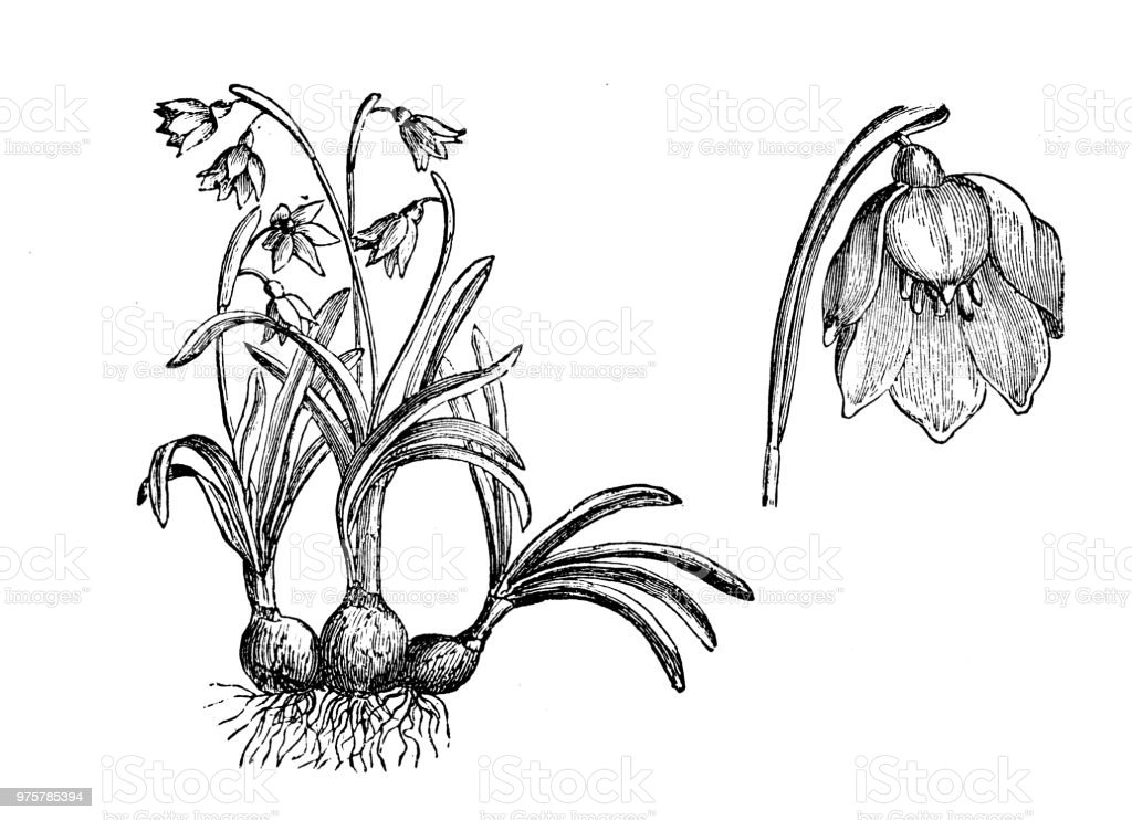 Botanik Pflanzen Antik Gravur Abbildung: Leucojum Vernum, Frühling Schneeflocke - Lizenzfrei 19. Jahrhundert Stock-Illustration
