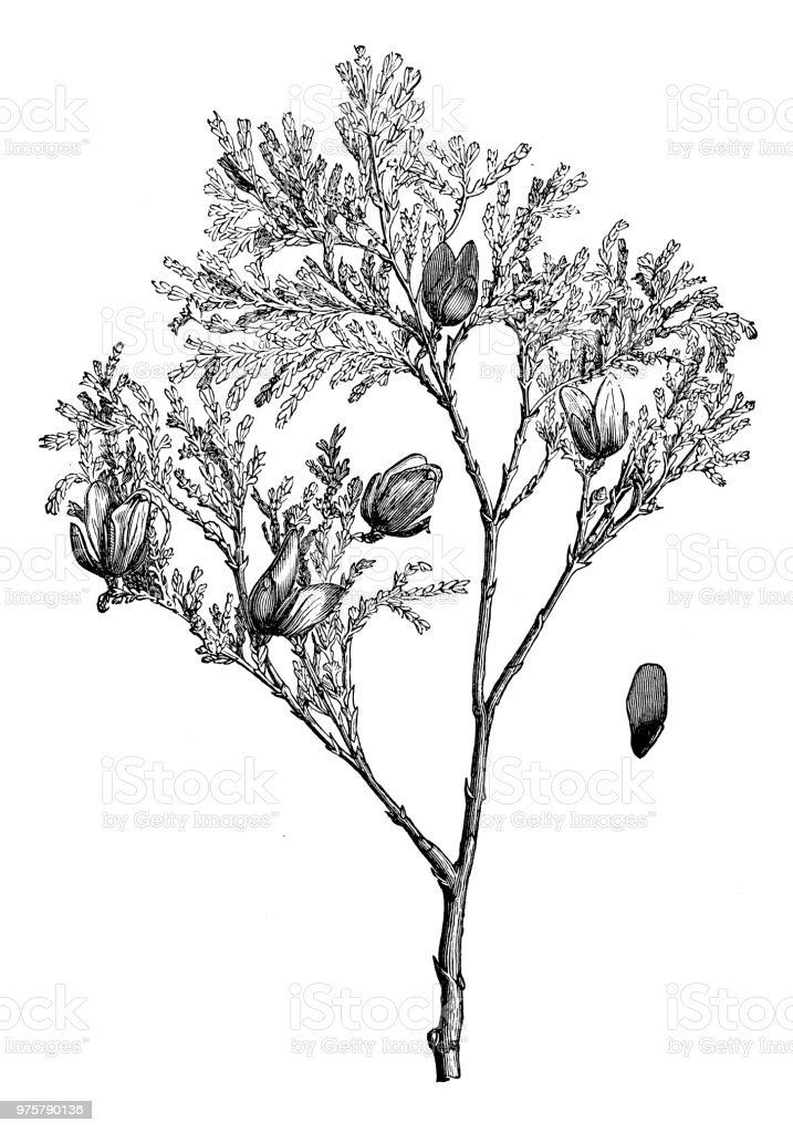 Botany plants antique engraving illustration: Libocedrus chilensis, Chilean cedar, Austrocedrus chilensis, Chilean arborvitae - illustrazione arte vettoriale
