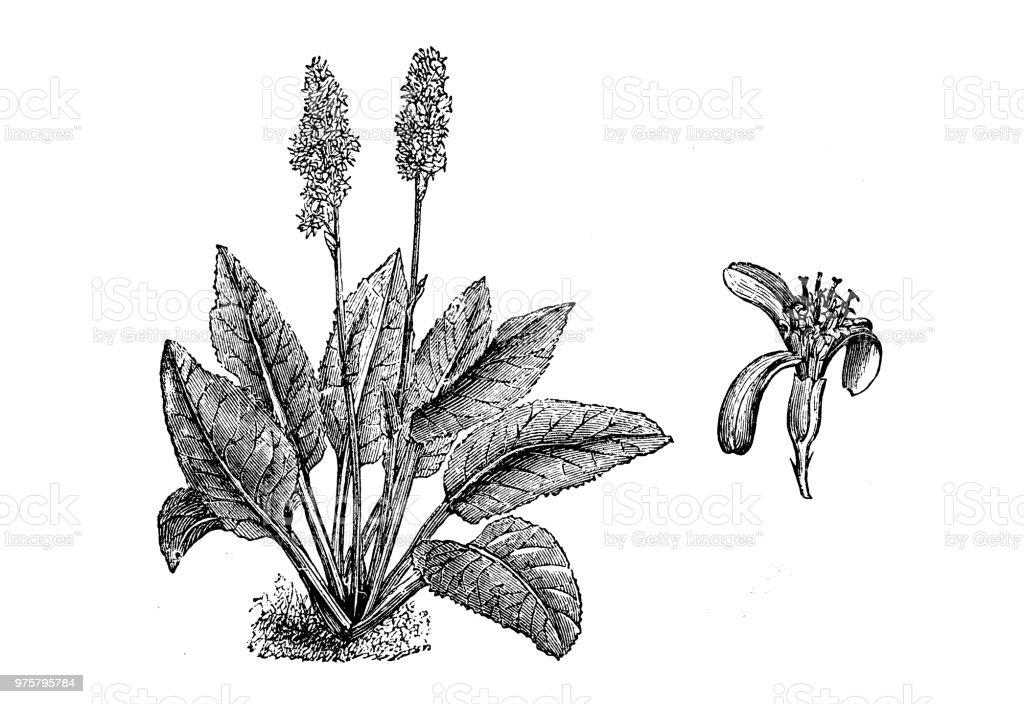 Botanik Pflanzen Antik Gravur Abbildung: Ligularia Macrophylla, Leopard-Anlage - Lizenzfrei 19. Jahrhundert Stock-Illustration