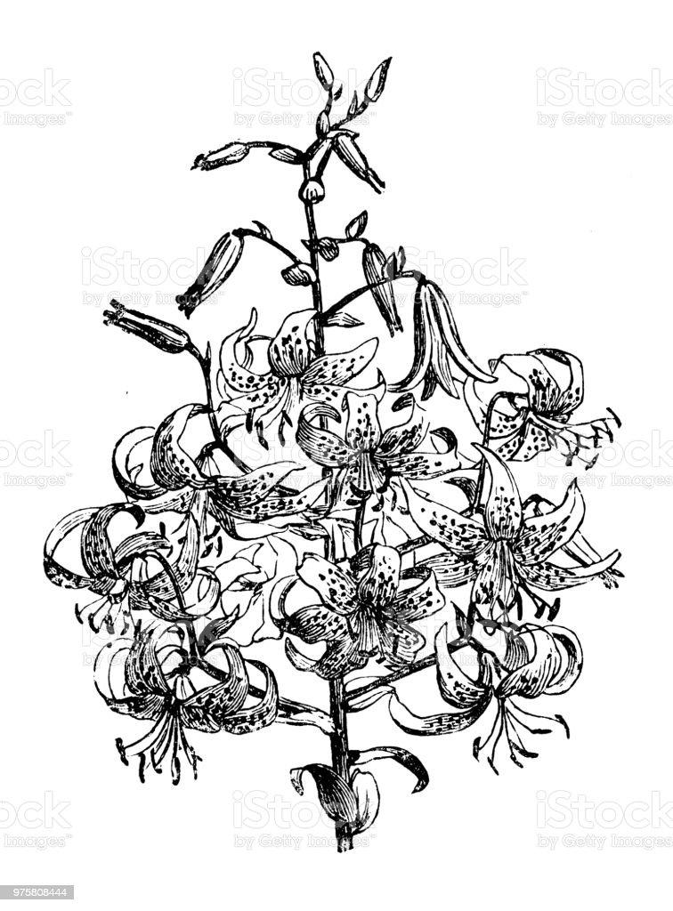 Botanik Pflanzen Antik Gravur Abbildung: Lilium Tigrinum Splendens - Lizenzfrei 19. Jahrhundert Stock-Illustration