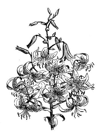 Botanik Pflanzen Antik Gravur Abbildung Lilium Tigrinum Splendens Stock Vektor Art und mehr Bilder von 19. Jahrhundert