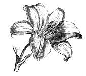 Botany plants antique engraving illustration: Lily