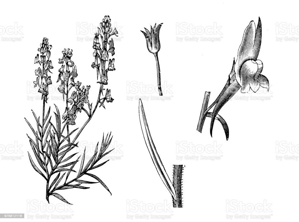 Botanik Pflanzen Antik Gravur Abbildung: Linaria Maroccana, Marokko-Leinkraut - Lizenzfrei 19. Jahrhundert Stock-Illustration
