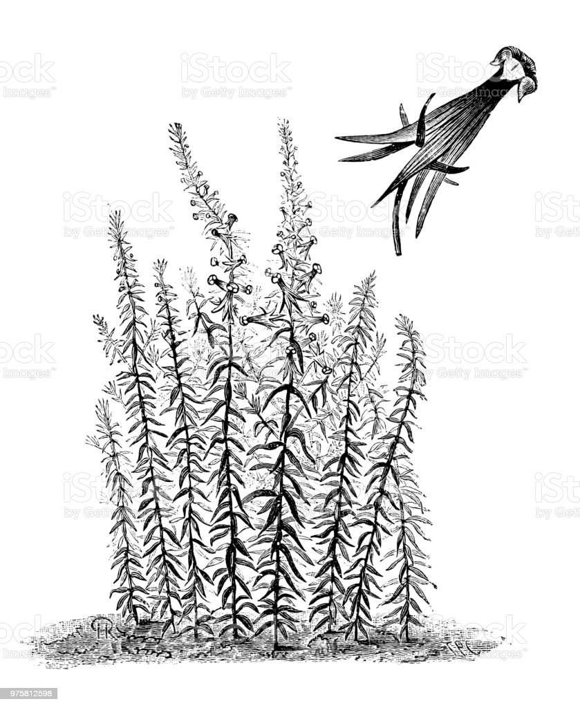 Botanik Pflanzen Antik Gravur Abbildung: Linaria Vulgaris Peloria - Lizenzfrei 19. Jahrhundert Stock-Illustration