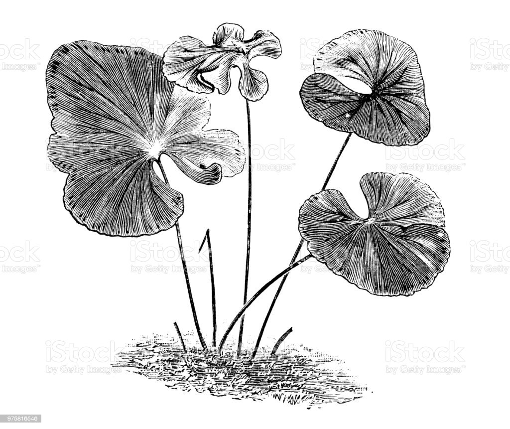 Botanik Pflanzen Antik Gravur Abbildung: Lindsaya Reniformis - Lizenzfrei 19. Jahrhundert Stock-Illustration