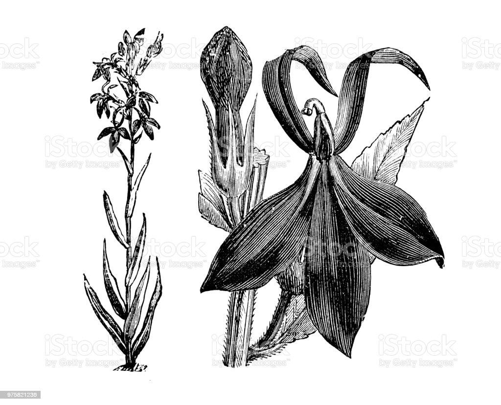 Botanik Pflanzen Antik Gravur Abbildung: Lobelia Fulgens - Lizenzfrei 19. Jahrhundert Stock-Illustration