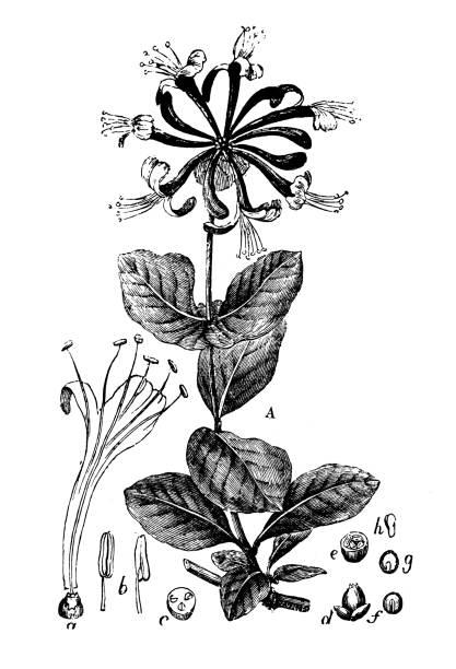 Botany plants antique engraving illustration: Lonicera caprifolium (Italian woodbine, perfoliate honeysuckle) Botany plants antique engraving illustration: Lonicera caprifolium (Italian woodbine, perfoliate honeysuckle) honeysuckle stock illustrations