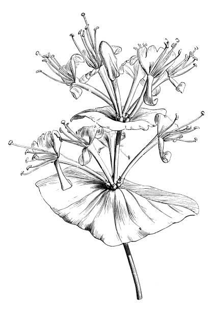 Botany plants antique engraving illustration: Lonicera caprifolium, Italian woodbine, perfoliate honeysuckle, goat-leaf honeysuckle Botany plants antique engraving illustration: Lonicera caprifolium, Italian woodbine, perfoliate honeysuckle, goat-leaf honeysuckle honeysuckle stock illustrations