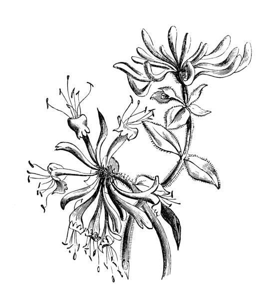 Botany plants antique engraving illustration: Lonicera periclymenum (honeysuckle) Botany plants antique engraving illustration: Lonicera periclymenum (honeysuckle) honeysuckle stock illustrations
