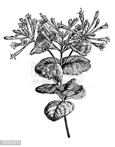 Botany plants antique engraving illustration: Lonicera sempervirens, coral honeysuckle, trumpet honeysuckle, scarlet honeysuckle