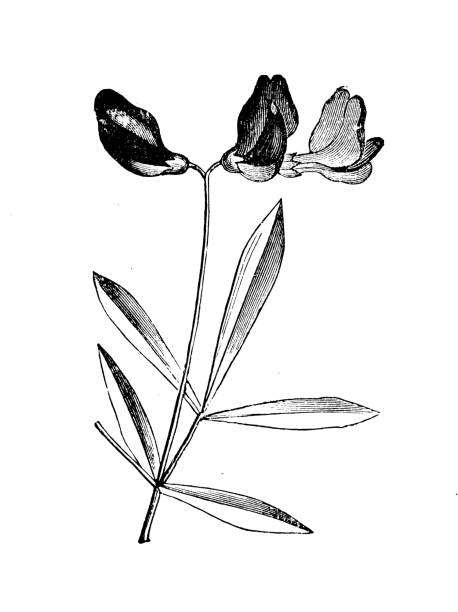 ilustrações de stock, clip art, desenhos animados e ícones de botany plants antique engraving illustration: lotus jacobaeus, cape verde lotus, santiago lotus - cabo verde