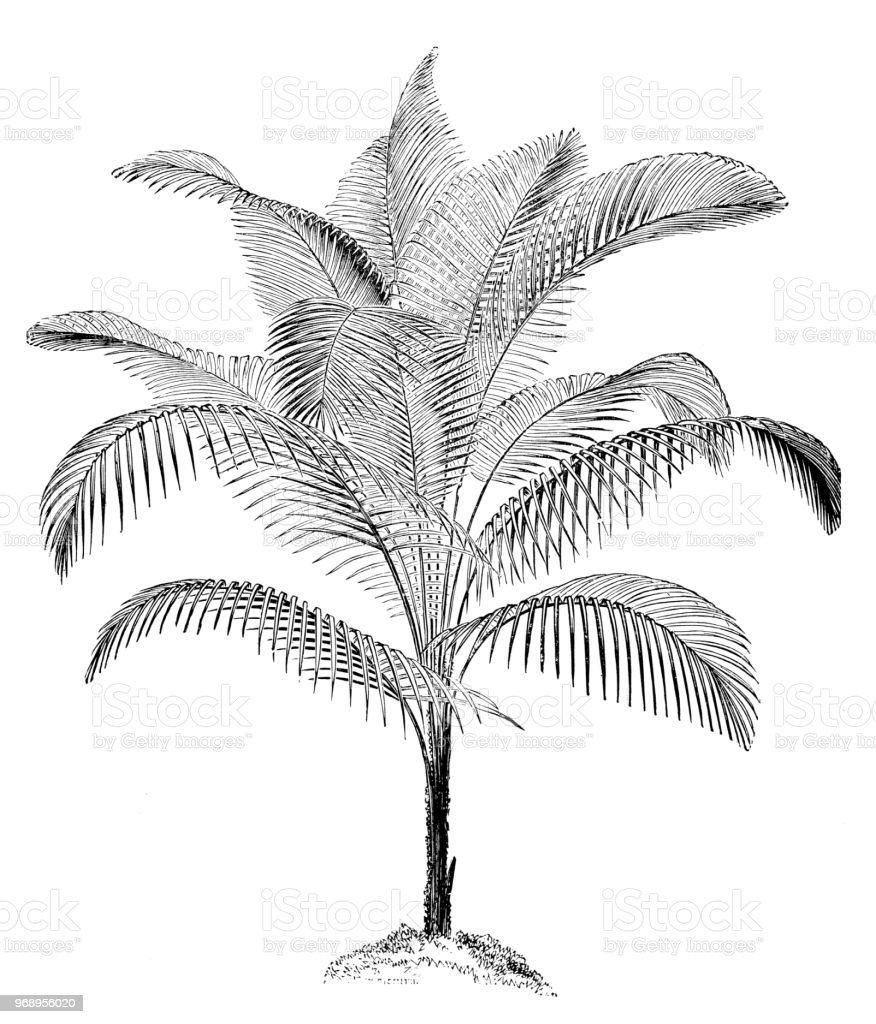Botany plants antique engraving illustration: Lytocaryum weddellianum, miniature coconut palm, Weddell's palm vector art illustration