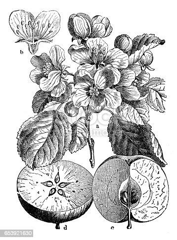 Botany plants antique engraving illustration: Malus sylvestris (European crab apple)