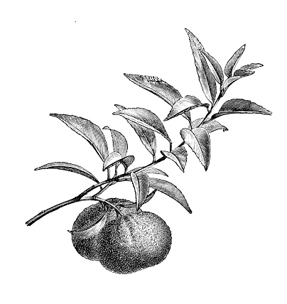 Botany plants antique engraving illustration: mandarin orange (Citrus reticulata)