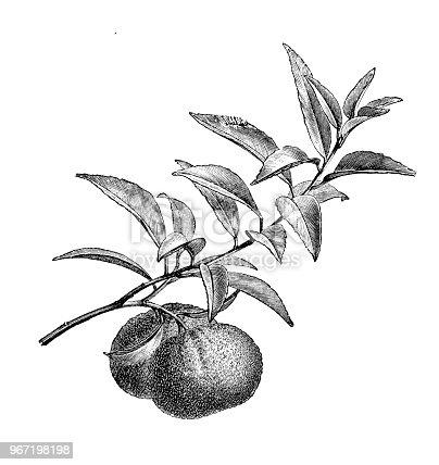 istock Botany plants antique engraving illustration: mandarin orange (Citrus reticulata) 967198198
