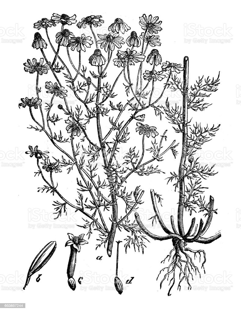 Botany plants antique engraving illustration: Matricaria chamomilla (chamomile) vector art illustration