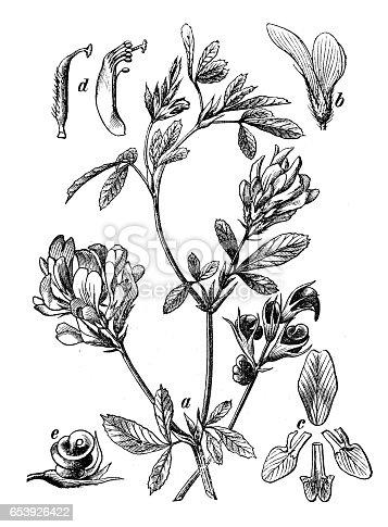 istock Botany plants antique engraving illustration: Medicago sativa (Alfalfa, lucerne) 653926422