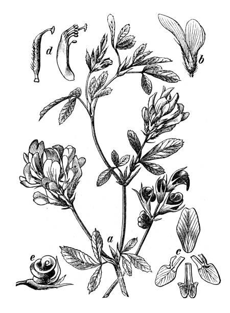 illustrazioni stock, clip art, cartoni animati e icone di tendenza di botany plants antique engraving illustration: medicago sativa (alfalfa, lucerne) - erba medica