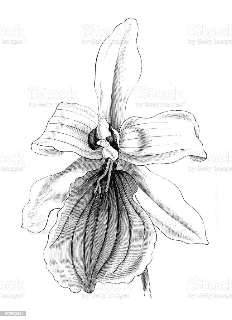 Botanik bitkiler antika gravür illüstrasyon: Miltonia spectabilis vektör sanat illüstrasyonu