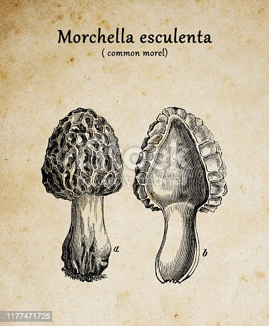 Botany plants antique engraving illustration: Morchella esculenta (common morel, morel, yellow morel, true morel, morel mushroom, sponge morel)