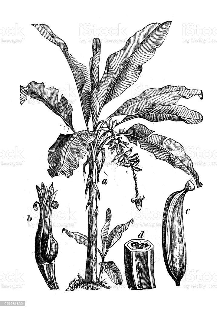 Botany plants antique engraving illustration: Musa paradisiaca (Banana tree) vector art illustration