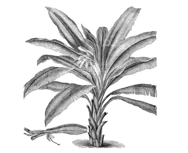 Botany plants antique engraving illustration: Musa superba vector art illustration