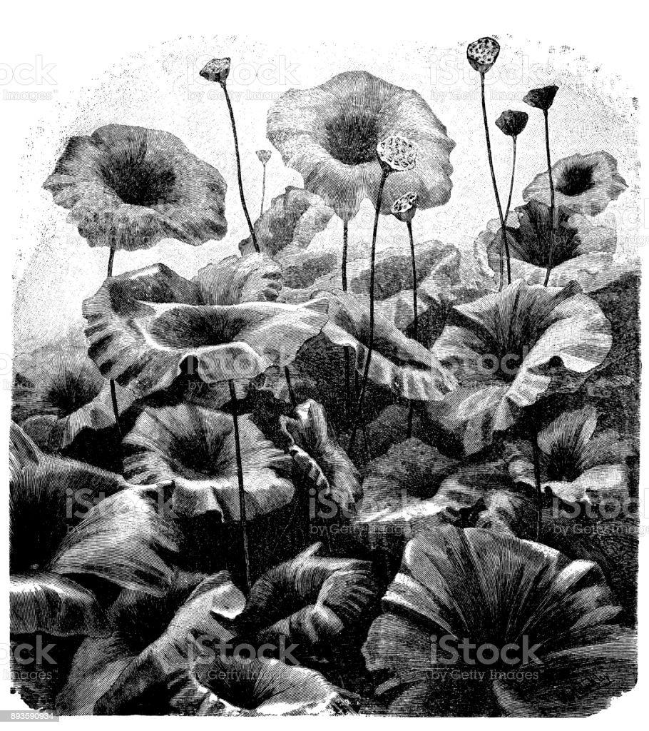 Botany plants antique engraving illustration: Nelumbo nucifera (Indian lotus, sacred lotus, bean of India, Egyptian bean) vector art illustration
