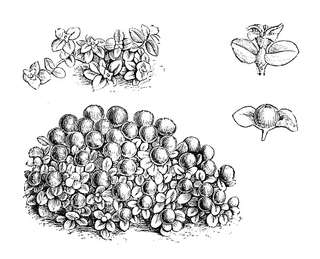 Botany plants antique engraving illustration: Nertera granadensis, coral bead plant, pin cushion plant, coral moss