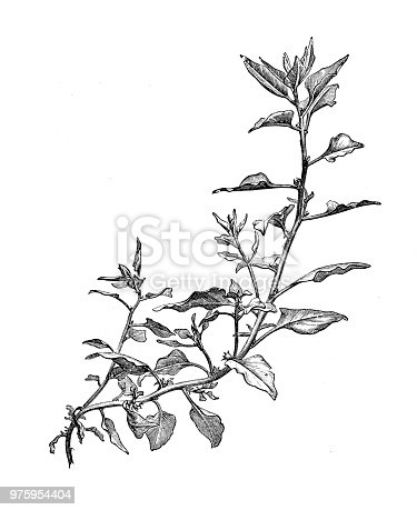 Botany plants antique engraving illustration: New Zealand Spinach