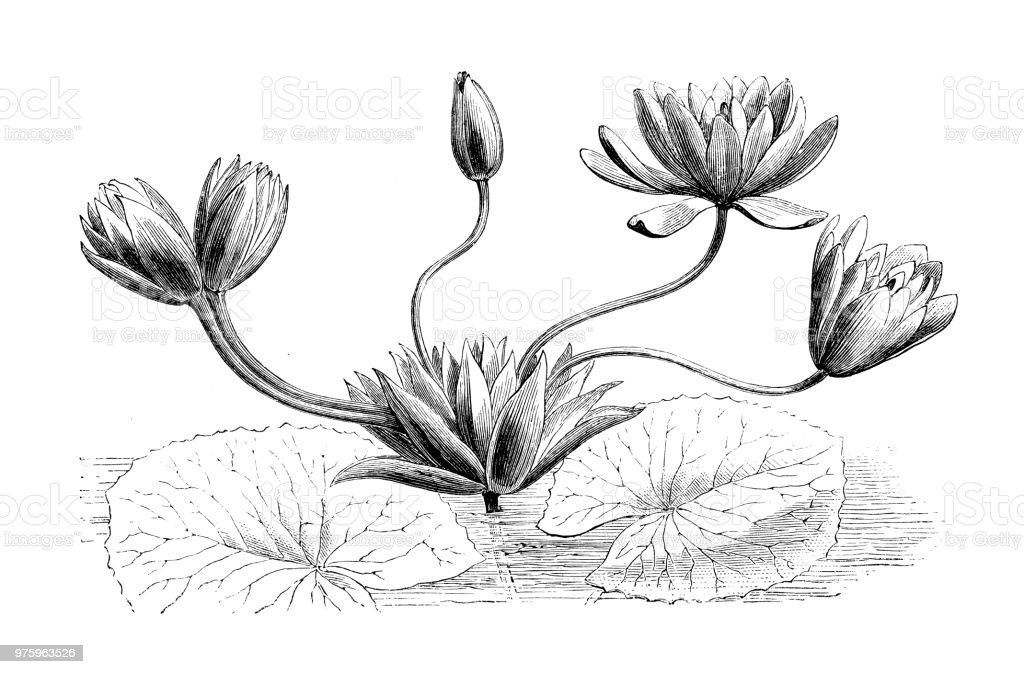 Botany Plants Antique Engraving Illustration Nymphaea Lotus White