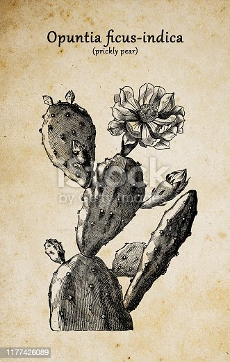 Botany plants antique engraving illustration: Opuntia ficus-indica (Indian fig opuntia, Barbary fig, cactus pear, spineless cactus, prickly pear)