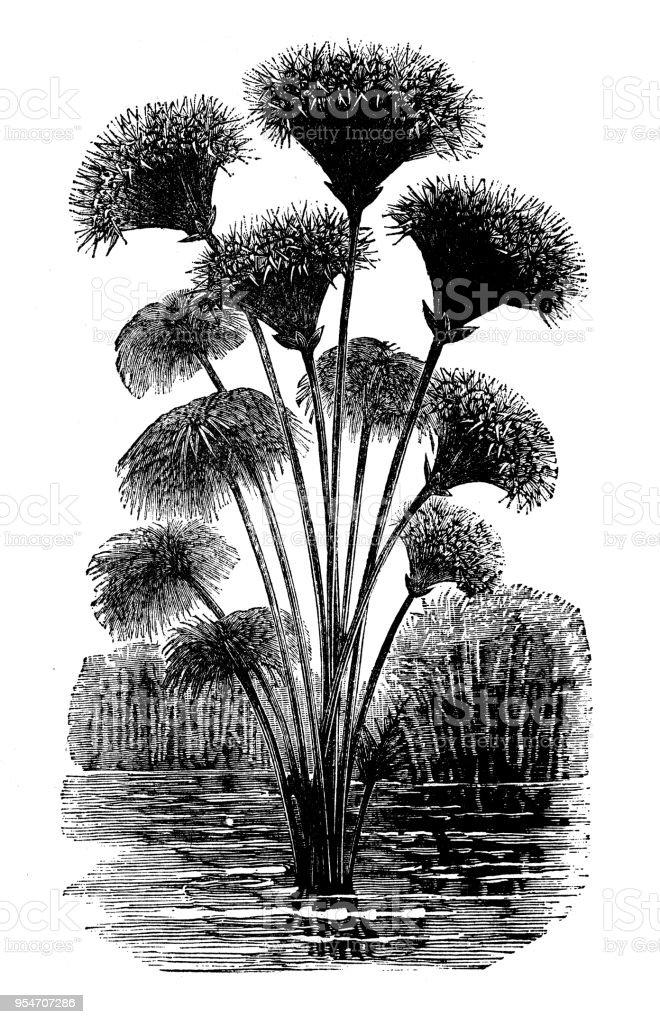 Plantes De Botanique Antique Illustration De Gravure Papyrus