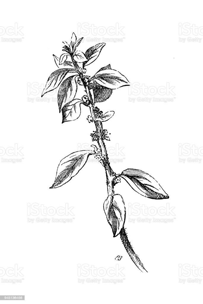 Ilustracion De Botanica Plantas Antigua Ilustracion De Grabado
