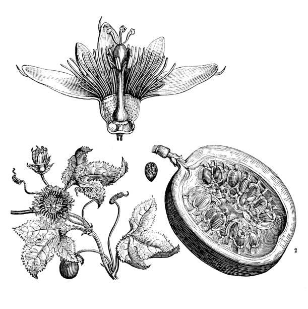 illustrazioni stock, clip art, cartoni animati e icone di tendenza di botany plants antique engraving illustration: passiflora - illustrazioni di passiflora
