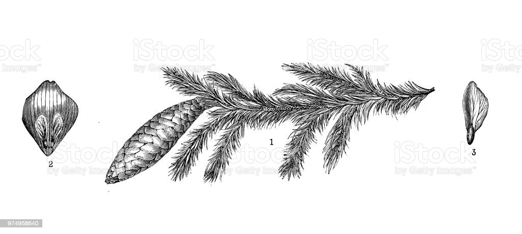 Botany Plants Antique Engraving Illustration Picea Abies Norway