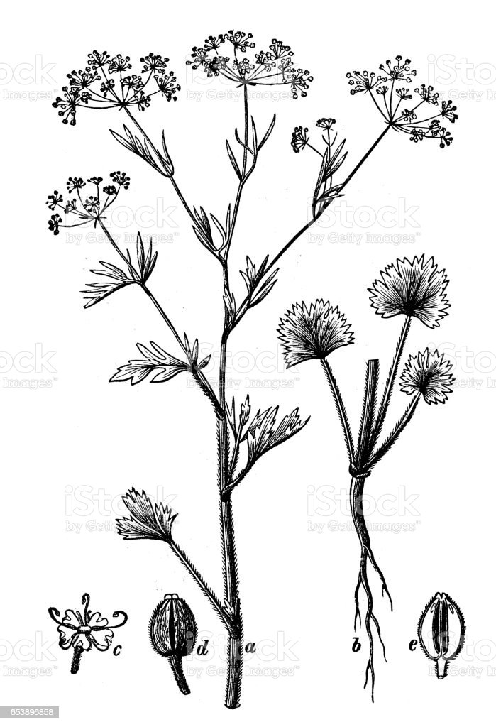 Botany plants antique engraving illustration: Pimpinella anisum (anise) vector art illustration