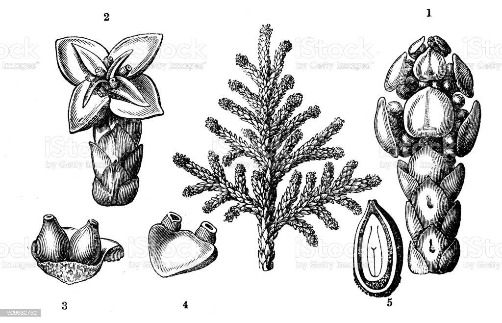 Botany plants antique engraving illustration: Platycladus orientalis (Chinese thuja, Oriental arborvitae) - illustrazione arte vettoriale