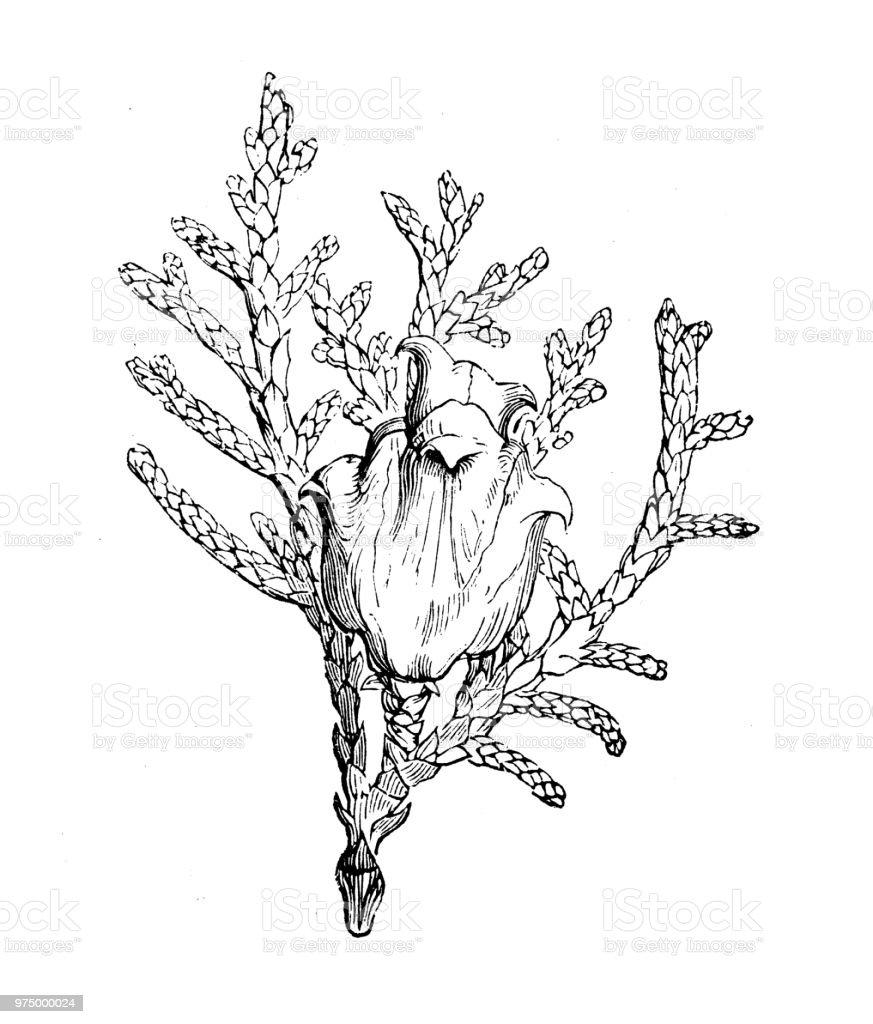Botany plants antique engraving illustration: Platycladus orientalis, Chinese thuja, Oriental arborvitae, Chinese arborvitae, biota - illustrazione arte vettoriale