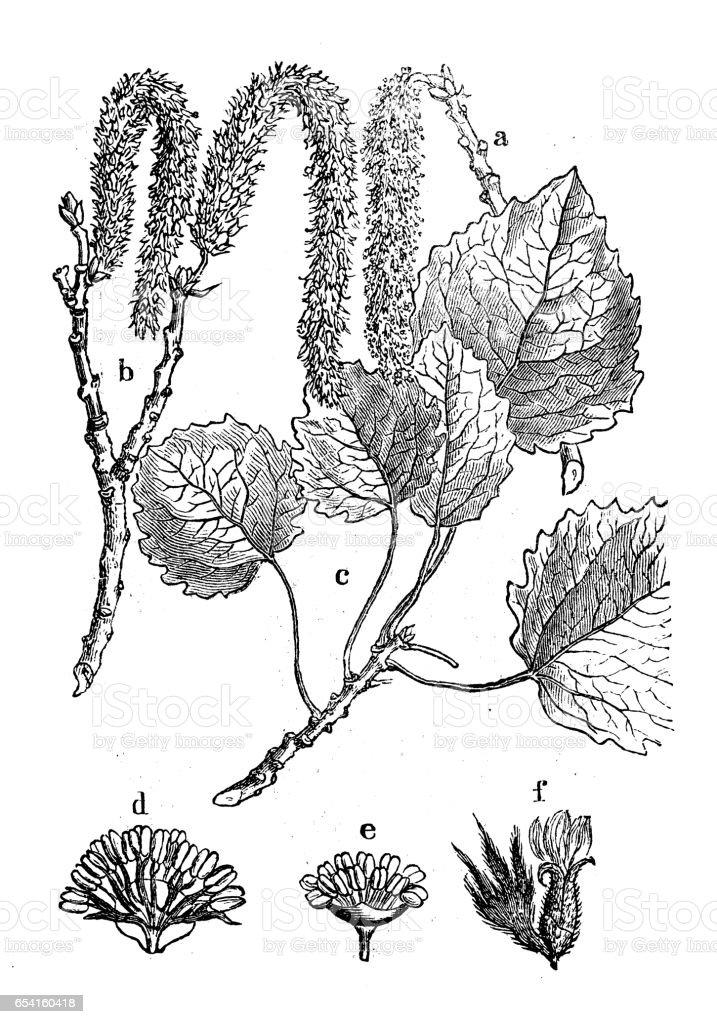 Botany plants antique engraving illustration: Populus tremula (aspen, common aspen, Eurasian aspen, European aspen, quaking aspen) vector art illustration