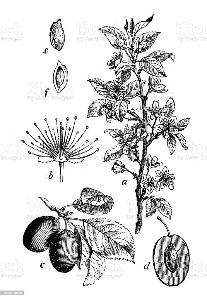 Botany plants antique engraving illustration: Prunus domestica (plum tree) vector art illustration
