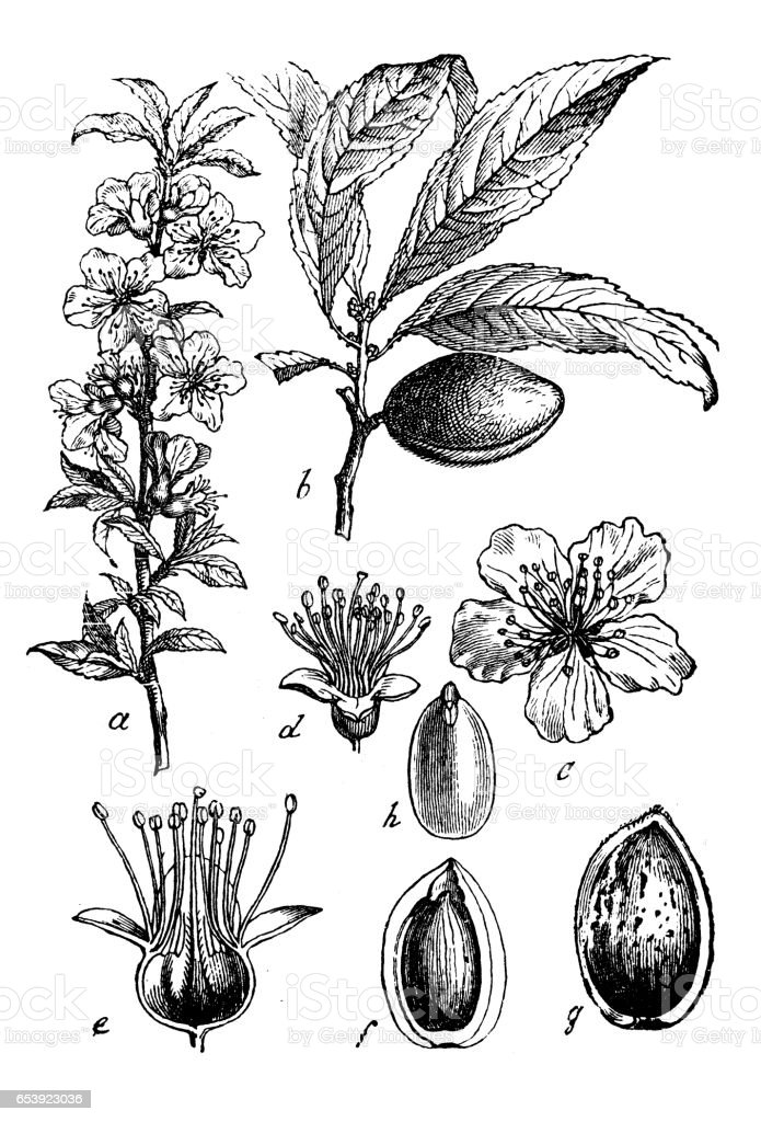 Botany plants antique engraving illustration: Prunus dulcis, syn. Prunus amygdalus (almond) vector art illustration