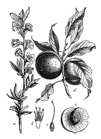 Botany plants antique engraving illustration: Prunus persica (peach)