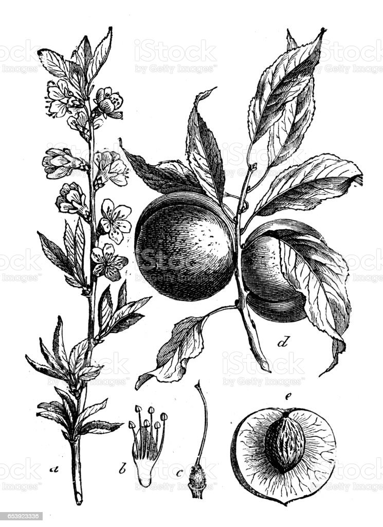 Botany plants antique engraving illustration: Prunus persica (peach) vector art illustration