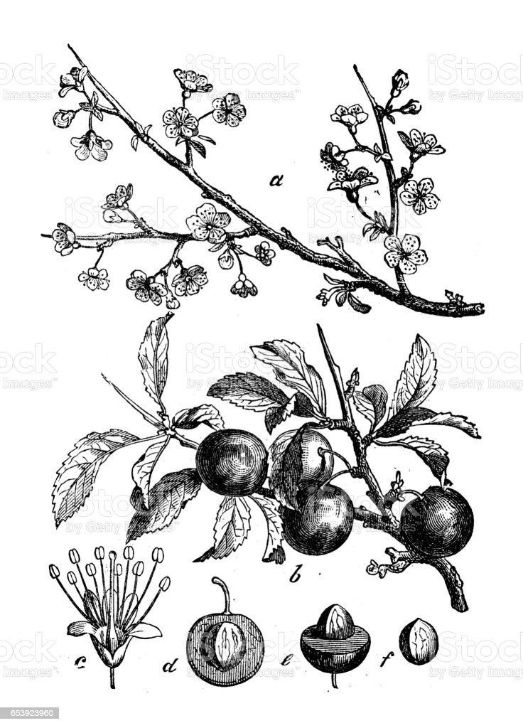 Botany plants antique engraving illustration: Prunus spinosa (blackthorn, sloe) vector art illustration